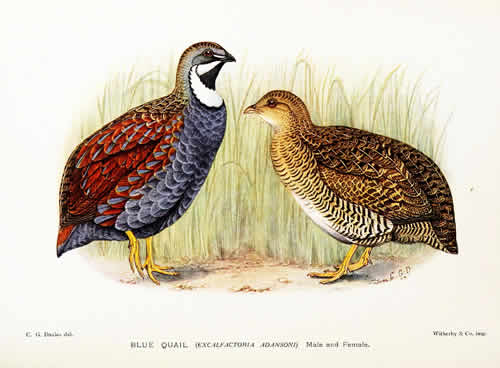 A Pair of Blue or African Blue Quail