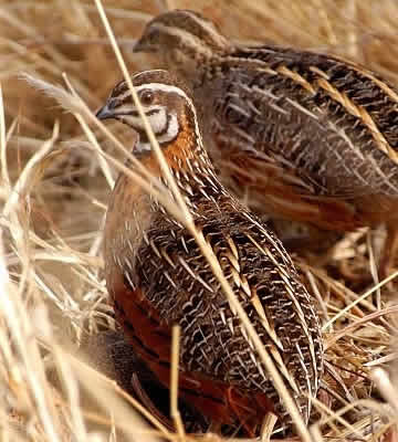 A pair of Harlequin Quail