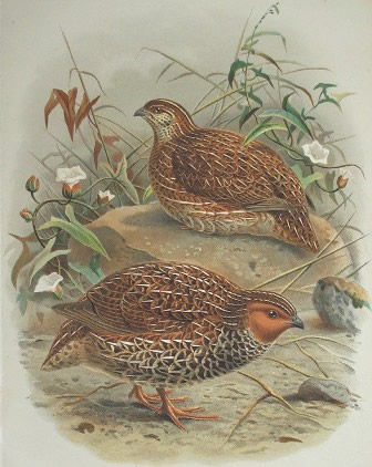A pair of New Zealand Quail