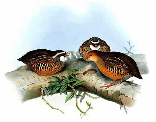 Painted Bush Quail on tree branches