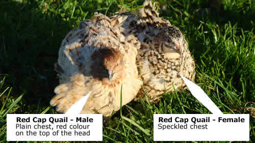 Red Cap Quail - male and female