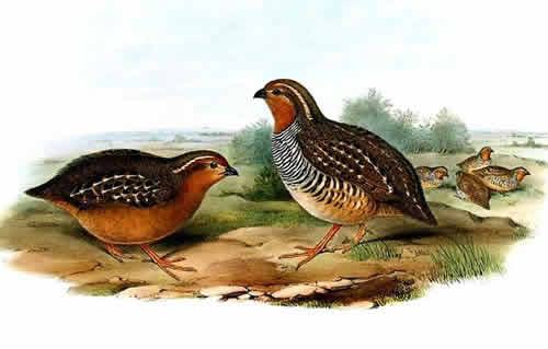 A flock of Rock Bush Quail