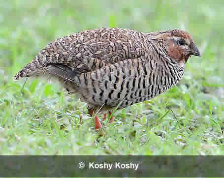 A male of a Rock Bush Quail